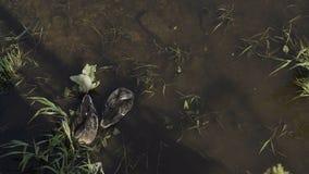 Duck con los anadones en el paseo que flota en el agua de la charca Armonía de la naturaleza metrajes