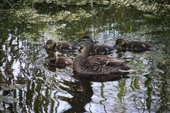 Duck con los polluelos en el agua en hitland del parque en la guarida aan IJssel de Nieuwerkerk en los Países Bajos Foto de archivo libre de regalías