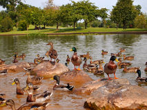 Duck Congregation Stockfotos