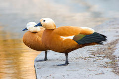 Duck couple. Two ducks ara staying on one leg on pier Royalty Free Stock Photo