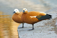 Duck couple. Two ducks are staying on one leg on pier Stock Photo