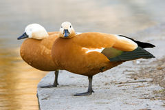 Duck couple. Two ducks are staying on one leg on pier Royalty Free Stock Photos