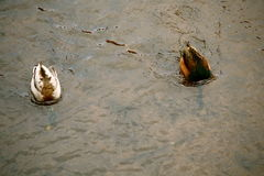 Duck Couple Fotografia de Stock Royalty Free