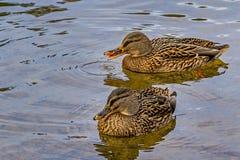 Duck Couple Fotos de archivo