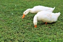 Duck Couple foto de stock royalty free
