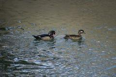 Duck Couple di legno sul fiume fotografia stock