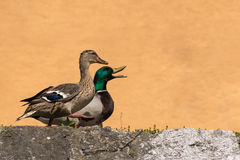 Duck. Couple of ducks walking on the riverbank near the river Stock Photos