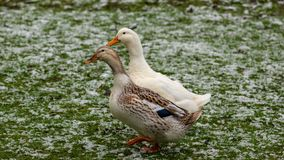 A duck couple enjoying a walk stock images