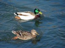 Duck couple Stock Photos