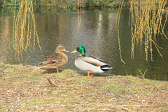 Duck Couple. Male and female duck in early spring light near a pond Stock Photos