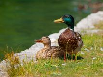 Duck couple Stock Photography