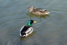 Duck couple. Couple of mallard ducks swimming in the pond Stock Photography