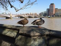 A duck couple. Nap along river Thames Royalty Free Stock Photo