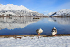 Duck couple relax on the lake. Side, Lake Hayes, Queenstown, New Zealand in sunny winter Royalty Free Stock Photo
