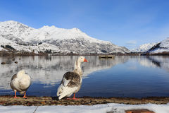 Duck couple relax on the lake. Side, Lake Hayes, Queenstown, New Zealand in sunny winter Royalty Free Stock Photography