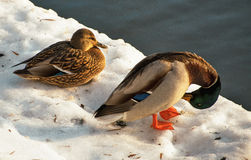 Duck couple Royalty Free Stock Photography