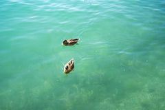 Duck couple swimming in lake. Zurich switzerland Royalty Free Stock Image