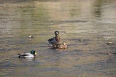 Couple of ducks royalty free stock image