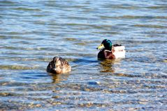 Duck couple on water. Male and female duck over silver river Stock Images