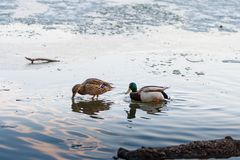 Duck couples on a melting ice pond in the park in the spring at sunset in April. Drake with a duck.  Stock Images