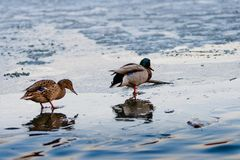Duck couples on a melting ice pond in the park in the spring at sunset in April. Drake with a duck.  Royalty Free Stock Photo
