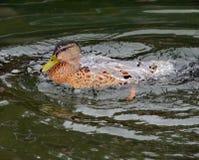 Duck Covered mit Wasser Stockbilder