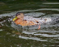 A Duck Covered with Water Stock Images