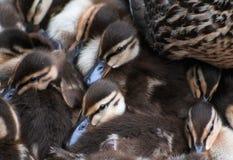 Duck Cozy royaltyfria foton