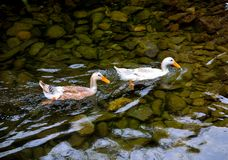 Duck, creeks and cobblestone Royalty Free Stock Photos