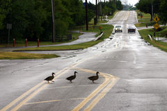 Free Duck Crossing Stock Images - 1268594