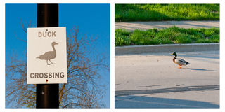 Duck crossing warning sign and duck crossing the r Royalty Free Stock Image