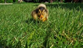 Duck Cub Royalty Free Stock Photo