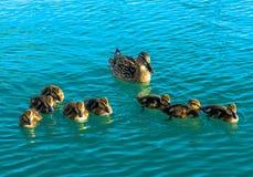 Duck With Cute Chickens femenino Imagen de archivo