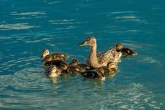 Duck With Cute Chickens femenino Imágenes de archivo libres de regalías