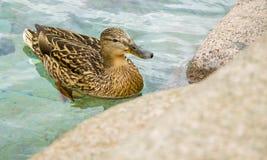 Duck. A cute female mallard duck swimming in the fountain Stock Image
