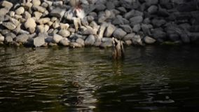 Duck is dabbling in the water and it is trying to feed itself. stock footage