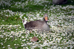 Duck among daisies in fota wildlife park near cobh. County cork ireland Stock Image