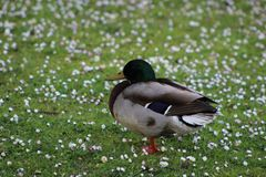Duck in Daisies. A duck stood in a field of daisies Royalty Free Stock Photo