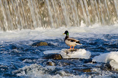 Duck on the dam. Stock Image