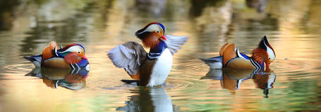 Duck Dance Royalty Free Stock Image
