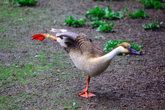 Duck dancing Royalty Free Stock Photography