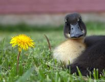 Duck and dandilion Royalty Free Stock Image