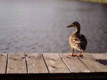 Duck On das Dock bei Sonnenuntergang Lizenzfreies Stockfoto