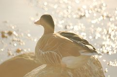 Duck during dawn sitting on a stone stock photos
