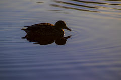 Duck at dawn at sunrise. On Cusworth Pond, Doncaster, United Kingdom Stock Image