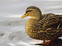 Duck day Royalty Free Stock Photo