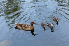 Duck de maman et voile mignonne du caneton trois dans votre direction Reserv Photos stock