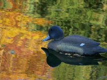 Duck Decoy Royalty Free Stock Images