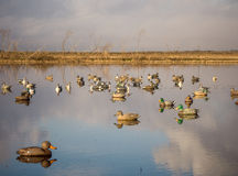 Duck decoys. Decoys of various duck speciies including Mallard, Pintail, Gadwall and Teal royalty free stock photo