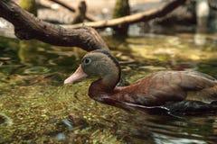 Duck Dendrocygna siffleur fauve bicolore photos libres de droits